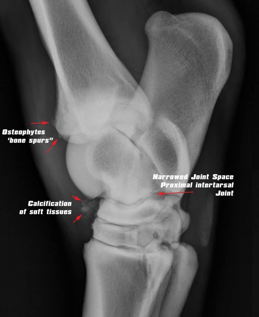 , Hock Arthritis
