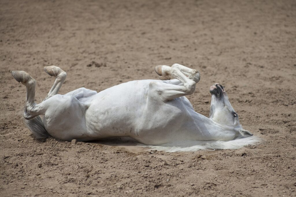 emergency equine surgery, Emergency Equine Surgery